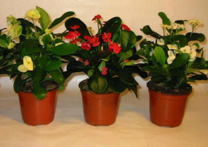 7 приемов, чтоб комнатные цветы росли как на дрожжах. Флористы рекомендуют!
