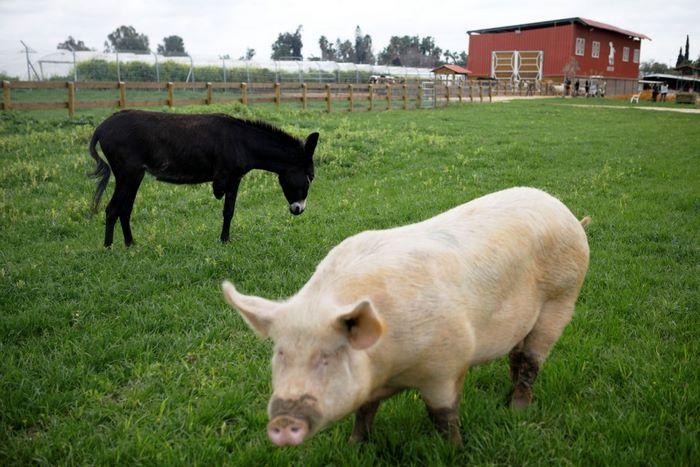 В Израиле существует ферма, где дают приют животным-инвалидам
