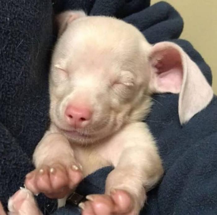 Щеночек Пятачок родился розовым и глухим, но это не испортило ему жизнь