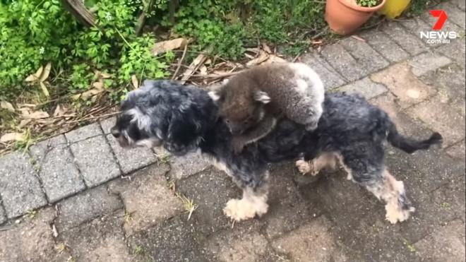 Детеныш коалы перепутал собаку с мамой и отказывается с нее слезть