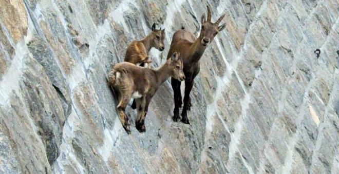 Горные козлы бросают вызов законам притяжения и гравитации