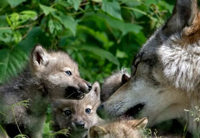 Мальчишка нашел в лесу волчонка в капкане и помог ему. Спустя 3 года он вернулся