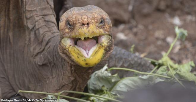 Самец-черепаха имел столько самок, что в одиночку восстановил свой вид